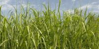 Research Examines Obstacles to Making Biofuel from Perennial Plants